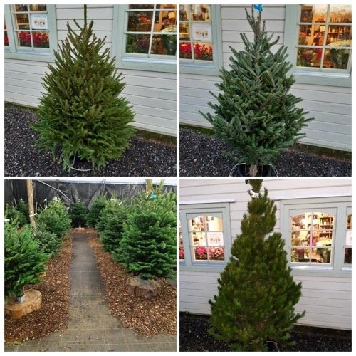 real christmas trees for sale in milton keynes at alban hill nurseries