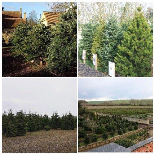 real christmas trees at stagsden christmas trees near milton keynes