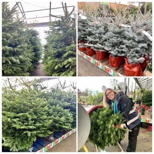 real christmas trees for sale at woburn sands emporium in milton keynes